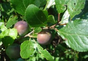 Krete_Kriechenpflaume_Haferpflaume_Prunus_domestica_subsp_insititia