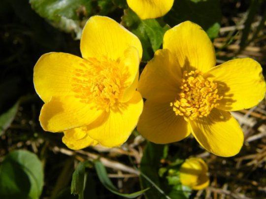 sumpf_dotterblume_caltha_palustris